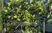 temnoplodec třešňolistý Hugin - Aronia prunifolia Hugin