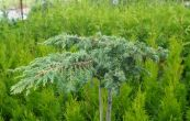 jalovec obecný Green Carpet - Juniperus communis Green Carpet