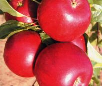 Jabloň hana