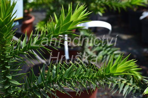 blahočet chilský - Araucaria araucana