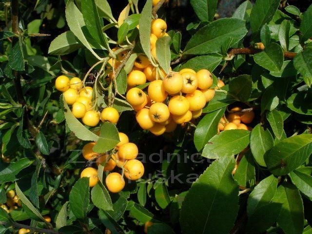 hlohyně šarlatová Golden Charmer - Pyracantha coccinea Golden Charmer