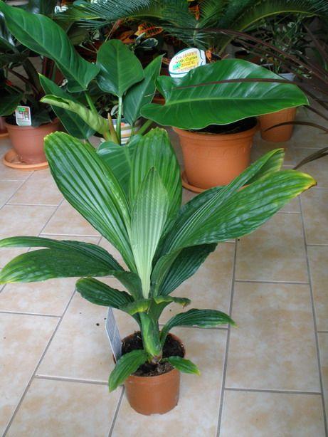 Cardulovica palmata