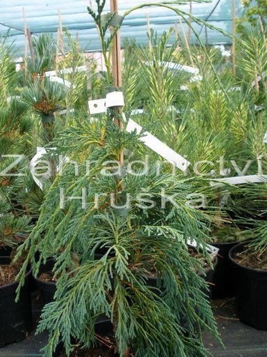 cypřišek nutkajský Pendula - Cupressus nootkatensis Pendula
