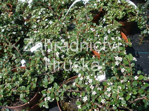 Skaln k cotoneaster procumbens 39 queen of carpets - Cotoneaster procumbens queen of carpets ...