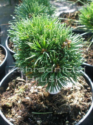 Borovice pinus uncinata drahokam