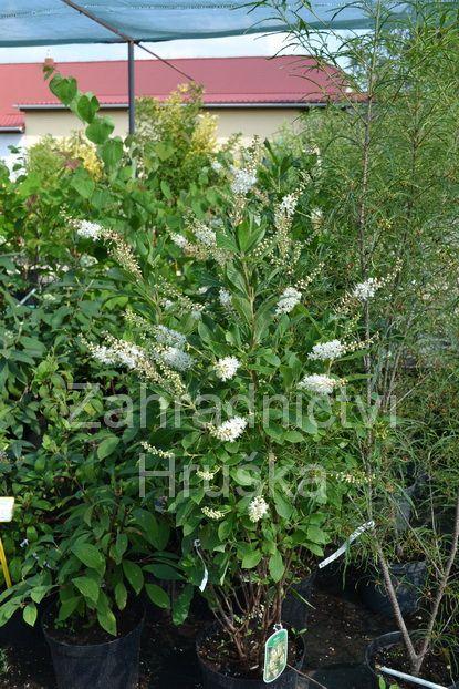 clethra alnifolia pink spire