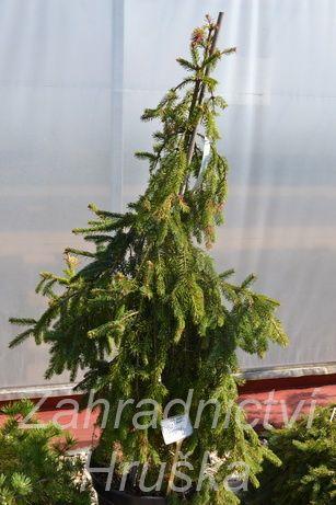 Smrk Picea Abies Inversa Pendula Zahradnictví Jiří Hruška