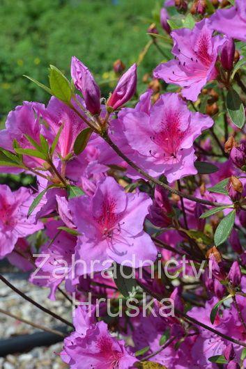 Barva květu světle fialová