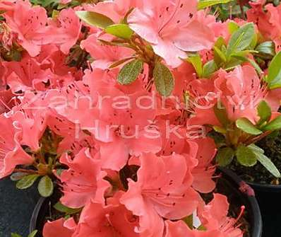 Azalea japonica 'Geischa Orange'