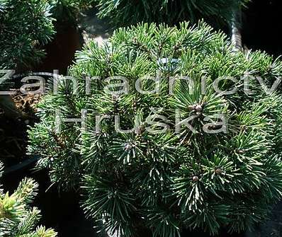 Borovice - Pinus mugo 'Greene Welle'