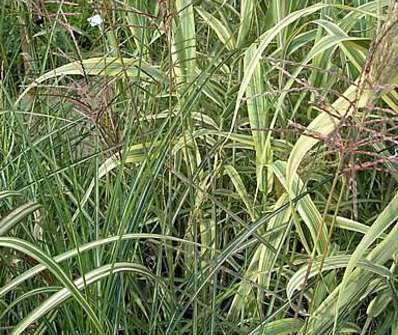 ozdobnice - Miscanthus sinensis 'Gracillimus'