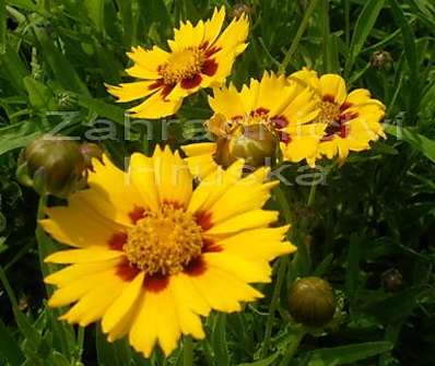 Coreopsis Heliot Yellow/Red
