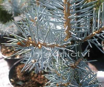 smrk - Picea pungens 'Edith'