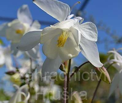 Aquilegia Spring Magic White
