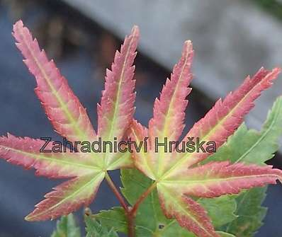 javor - Acer palmatum 'Little Princess´