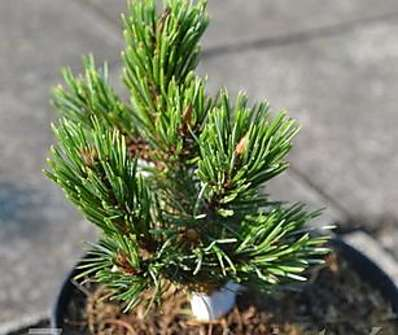 borovice - Pinus aristata 'New Broom'
