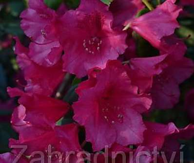 Rhododendron 'Williams August Lamken'