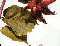 líska obecná Lombardská bílá - Corylus avellana Lombardská bílá