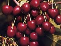 třešeň obecná Kordia - Prunus avium Kordia