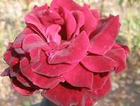 růže Barcarolle - Rosa Barcarolle