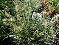 dochan - Pennisetum alopecuroides 'Little Honey'
