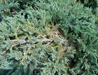 jalovec - Juniperus squamata 'Blue Carpet'