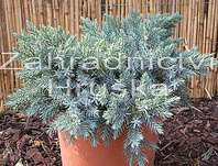 jalovec - Juniperus squamata 'Blue Star'