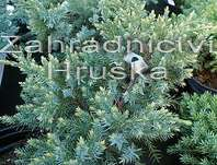 jalovec - Juniperus squamata 'Dream Joy'