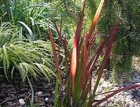 lalang - Imperata cylindrica 'Red Baron'