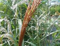ozdobnice - Miscanthus sinensis 'Rot Silber'