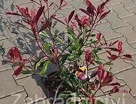 blýskalka Fraserova Pink Marble - Photinia × fraseri Pink Marble