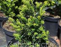 tis - Taxus media 'Strait Hedge'