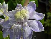 plamének - Clematis 'Blue Light'