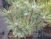 Borovice - Pinus mugo 'Little Lady'