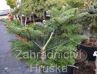 jedle - Abies balsamea 'Barabits Spreader'