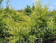 jalovec - Juniperus chinensis 'Kuriwao Gold'