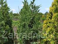 jalovec - Juniperus chinensis 'Monarch'