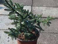 smrk - Picea abies 'Hotel'
