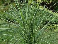 ozdobnice - Miscanthus sinensis 'Purple Fall'