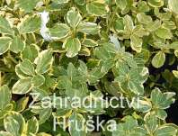 brslen - Euonymus fortunei 'Canadale Gold'