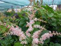 Astilbe simplicifolia Pink Lighting
