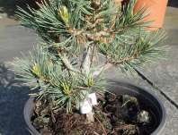 Borovice - Pinus flexilis 'Blackfoot'