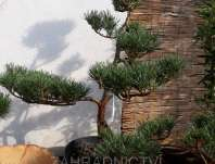 borovice bonsai