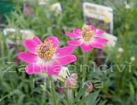 Anemone multifida Rose